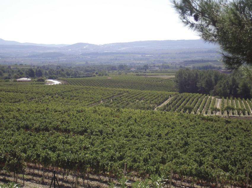 Vignes  (Consorci de Promoció Turística de l'Alt Penedès)