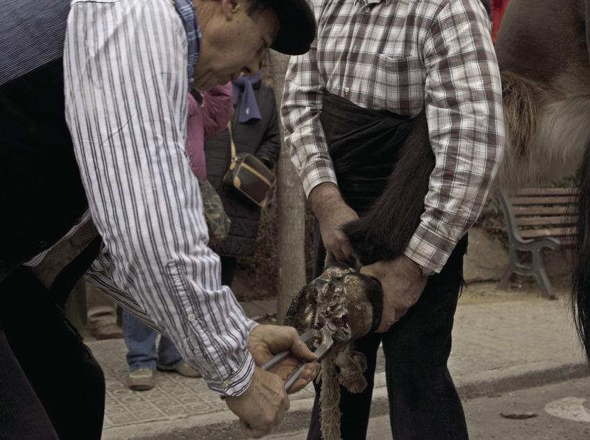 Herrado de ganado durante la Fiesta dels Traginers.  (Oriol Llauradó)