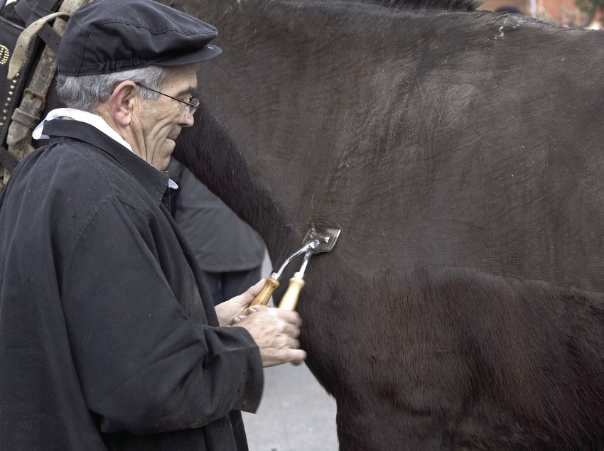 Esquila de cavalls durant la Festa dels Traginers.  (Oriol Llauradó)