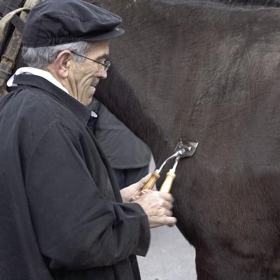 Esquileo de caballos durante la Fiesta dels Traginers.  (Oriol Llauradó)