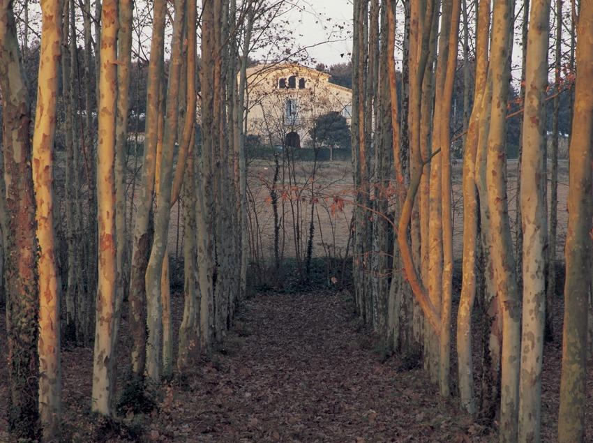 Bosc de pollancres.  (Kim Castells)