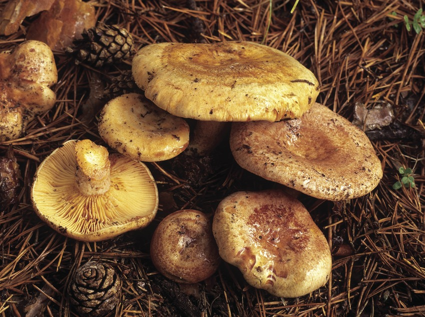 Rovellons (Lactarius deliciosus).