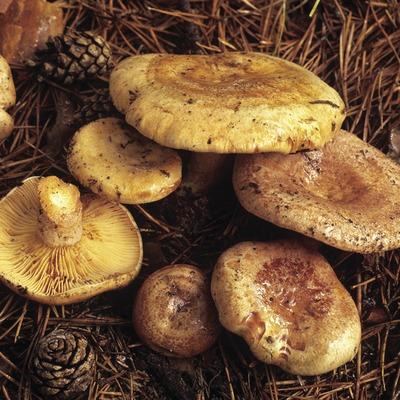 Lactaires délicieux (Lactarius deliciosus).
