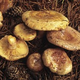 Níscalos (Lactarius deliciosus).  (José Luis Rodríguez)