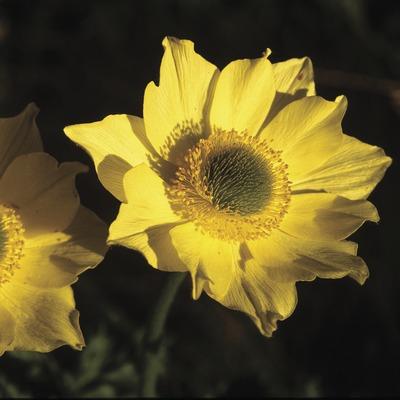 Pulsatil·les alpines (Pulsatilla alpina).