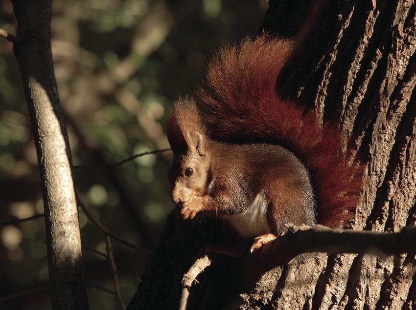 Esquirol vermell (Sciurus vulgaris).
