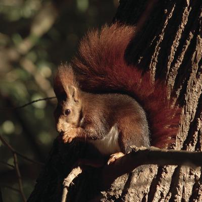 Esquirol vermell (Sciurus vulgaris).  (José Luis Rodríguez)