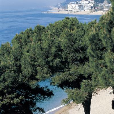 Arbres en un penya-segat arran de mar.  (Turismo Verde S.L.)