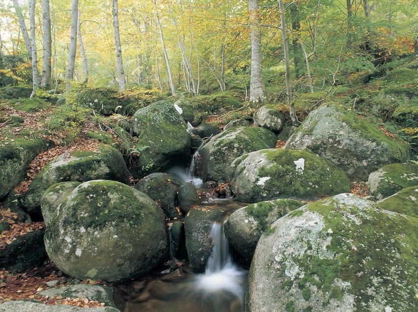 Rierol en una fageda del Montseny