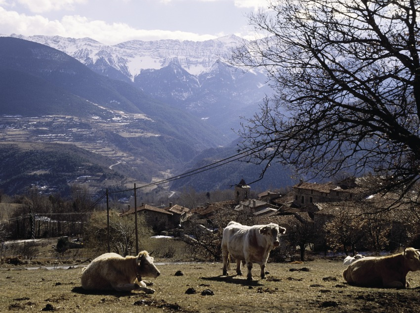 Des bœufs et le village de Travesseres, au fond, la sierra de Cadí.