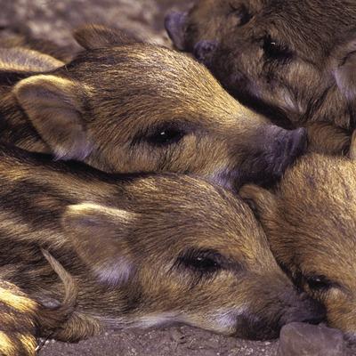 Wild boar piglets (Sus scrofa).