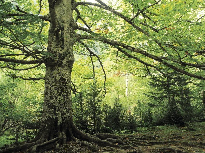 Beechwood, beech tree forest (Fagus).
