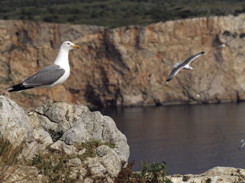 Gavines a la Reserva marina de les illes Medes.