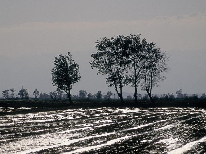 Cultivo del arroz en el Parque Natural del Delta del Ebro.  (Servicios Editoriales Georama)
