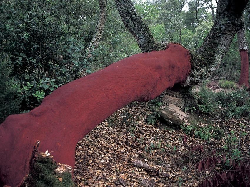 Chêne-liège dans le parc naturel du Montnegre et du Corredor